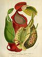 Nepenthes albomarginata, Nepenthes rafflesiana & Nepenthes sanguinea - Flore des serres et des jardin de l'Europe (1845).jpg