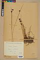 Neuchâtel Herbarium - Juncus jacquinii - NEU000044953.jpg