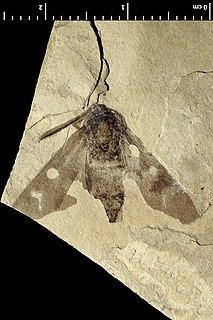 Neurosymploca? oligocenica Extinct species of moth