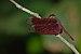 Neurothemis fulvia-Kadavoor-2015-08-21-001.jpg