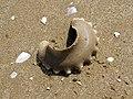 Neverita josephina (egg capsule).jpg