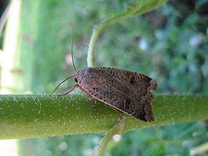 Noctua (moth) - Image: Noctua interposita 1