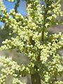 Nolina microcarpa fh 0523.45 AZ. In Blüte.JPG