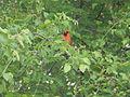 Northern Cardinal Male - Laslovarga.JPG