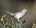 Northern Mockingbird (40117595771).jpg