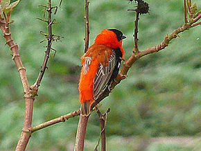 Oiseau Martine 12 avril trouvé par Ajonc 290px-Northern_red_bishop_cropped