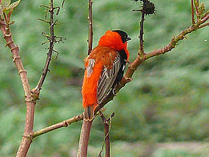 Northern red bishop cropped.jpg