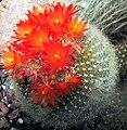 Notocactus hasselbergi.jpg
