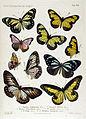 NovaraExpZoologischeTheilLepidopteraAtlasTaf42.jpg