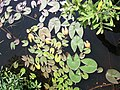 Nymphaea leibergii4 (5097340543).jpg