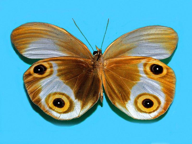 Bộ sưu tập cánh vẩy 5 - Page 29 800px-Nymphalidae_-_Taenaris_phorcas_%28underside%29