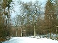 Oak trees in snow - geograph.org.uk - 108383.jpg