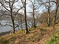 Oak woods, Loch Riddon - geograph.org.uk - 1255992.jpg