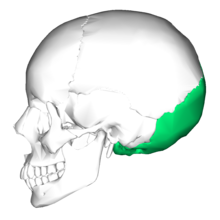 Occipital bone lateral4.png