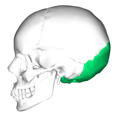 occipital bone
