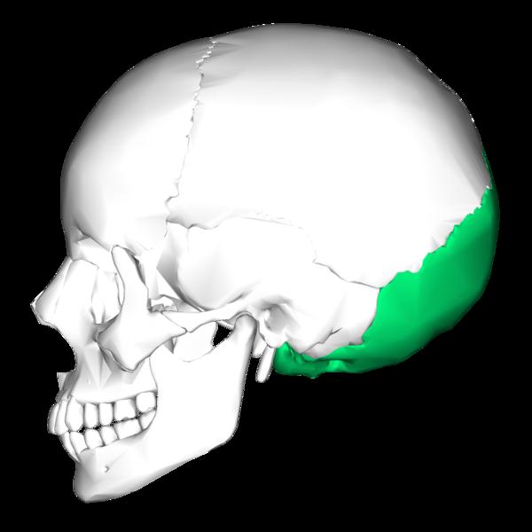 Pengertian Tulang Oksipital Beserta Strukturnya