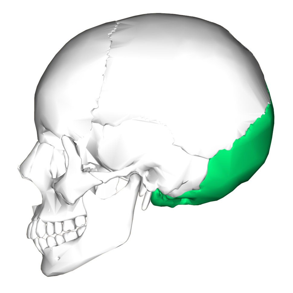 Occipital bone lateral4