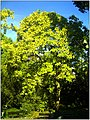October University Freiburg Plaza - Master Botany Photography 2013 Prächtiger Trompetenbaum United States of America - panoramio.jpg