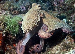 Gewöhnlicher Krake (Octopus vulgaris)