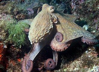 Common octopus - O. vulgaris from the Mediterranean Sea