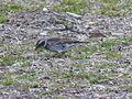 Oiseau japon 1bis.JPG