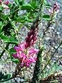 Onobrychis viciifolia InflorescenceCloseup CampodeCalatrava.jpg