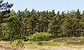 Ontwortelde berk (Betula) komt in blad. Locatie, Kroondomein Het Loo 02.jpg
