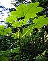 Oplopanax horridus (pfly).jpg