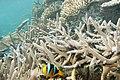 Orange-fin anemonefish Amphiprion chrysopterus (7569624226).jpg