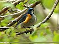 Orange-flanked Bush Robin (Tarsiger cyanurus) (19622873522).jpg