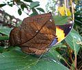 Orange Oakleaf.u-s - Flickr - gailhampshire.jpg
