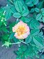 Orange rosee.jpg