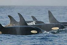 A group of killer whales have surfaced. Four dorsal fins are visible, three of which curve backward at the tip.