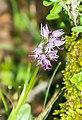 Orchis italica in Lozere (10).jpg