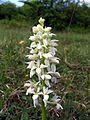 Orchis mascula alba Saarland 22.jpg
