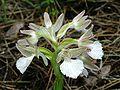Orchis papilionacea var. alba Rhodos 02.jpg