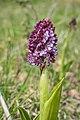 Orchis purpurea in Aveyron (9).jpg