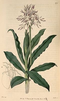 Orchis simia (as Orchis tephrosanthos) - Bot. Reg. 5 pl.375 (1819).jpg