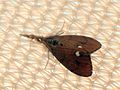 Orgyia antiqua (Rusty Tussock Moth), Arnhem, the Netherlands.jpg