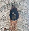 Oriental Magpie Robin (Female) at Nest I IMG 4148.jpg