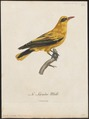 Oriolus auratus - 1796-1808 - Print - Iconographia Zoologica - Special Collections University of Amsterdam - UBA01 IZ16400177.tif