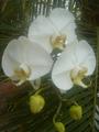 Orquidea007.png
