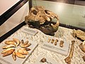 Orso delle caverne - Ursus spelaeus - 2.jpg