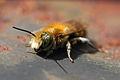 Osmia caerulescens - male - BiH 01.jpg