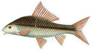 <i>Osteochilus microcephalus</i> Species of fish