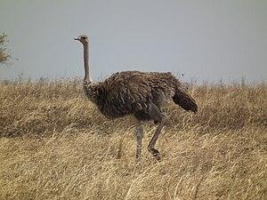 Masai ostrich - Female