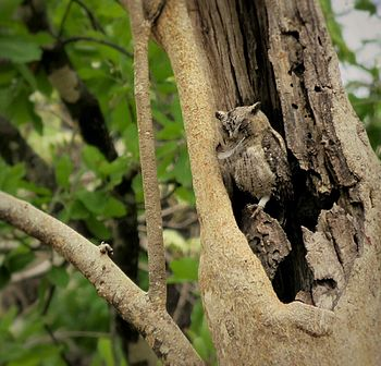 Owl in Camouflage.jpg