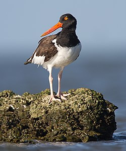 Oyster catcher by Dan Pancamo.jpg