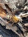 Pčela.JPG