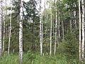 P.Białowieska, las brzozowy, kw. 187.JPG